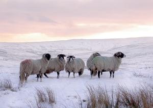 sheepwinter