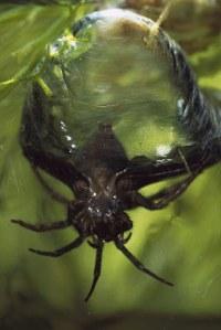 scuba-spider