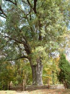 tree large
